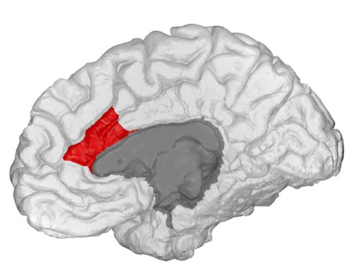 אזור במוח שנקרא קורטקס הסינגולייט