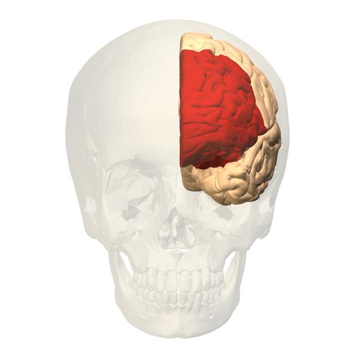 אזור במוח שנקרא קורטקס פרה-פרונטלי